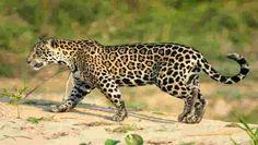 Voce sabia que a onca-pintada eh o terceiro maior felino do planeta? Saiba mais sobre o animal em: