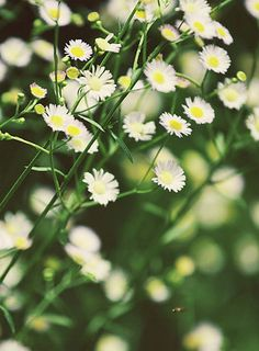 ... Easter daisies My late mum had these growing across the front fence & i have a cutting that blooms every Easter AHB