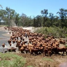 Mustering in the Carnarvon Ranges of Central Queensland
