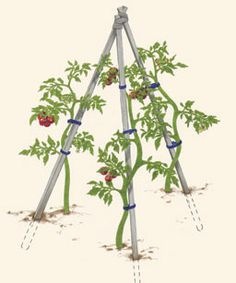 Growing Tomatoes Tips How to Support Tomatoes - Vegetable Gardener, some of the best tomato info I've ever read.and I've been gardening a long time! Veg Garden, Garden Trellis, Edible Garden, Lawn And Garden, Vegetable Gardening, Garden Tomatoes, Grow Tomatoes, Growing Tomatoes In Containers, Growing Vegetables