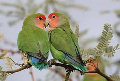 The Rosy-faced Lovebird (Agapornis roseicollis) is a species of lovebird native to arid regions in southwestern Africa such as the Namib Desert.