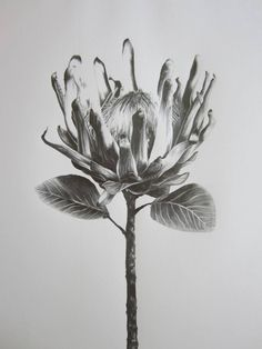 Protea Study IV Drawing by Ira van der Merwe Protea Art, Protea Flower, Botanical Illustration, Botanical Prints, Illustration Art, Pencil Art, Pencil Drawings, Art Drawings, African Flowers