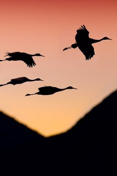 """Bring me the sunset in a cup.""  ― Emily Dickinson  [Credit - Sandhill cranes by Glenn Nagel]"