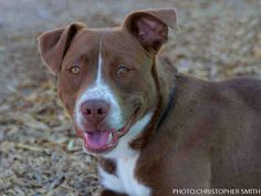 A1695767- Maverick is a sweet 1-year-old male, brown and white American Pit Bull Terrier mix. He is playful, delightful and would make a great addition to any family. Come and play with him and you'll fall in love. Visit Maverick at the Westside shelter.  www.cabq.gov/pets  FALL IN LOVE AT A SHELTER