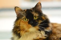 SONJA is an adoptable Domestic Long Hair Cat in Reno, NV. My beautiful coat is full of patches of color but my personality is as solid as it gets. I am a sweet, special girl who has lots of love and a...