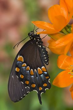 Is this the black version of the Eastern Tiger Swallowtail or a Pipevine Swallowtail?