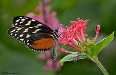 Golden Heliconius Butterfly feeding on Pentas Lanceolata, Wings of the Tropics, Fairchild Tropical Botanic Garden.