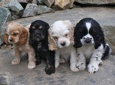 Adorable set of four cocker spaniel puppies in different color variations.