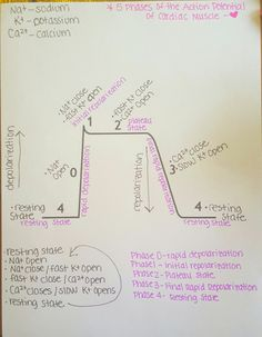 5 phases of the Action Potential of Cardiac Muscle step-by-step