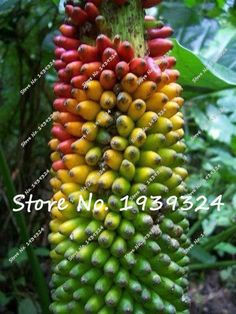 120pcs Banana Seeds,dwarf fruit trees, delicious rare fruit & vegetable seeds