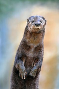 """A spot-necked otter does his best meerkat impression."""