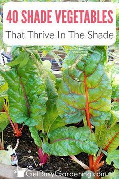 Can vegetables grow in shade? Yes! In fact, some even prefer the shade, and shade loving vegetables will suffer in the hot sun. Shade vegetable gardening isnt hard, and with this list of over 40 vegetables that grow in shade, you'll be able to use your garden space efficiently to grow all of the vegetables you want. #shadeGarden