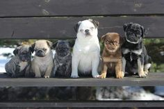 There are many different Colours of pugs, learn about the origins and histories of the colours here. Colours of pugs.