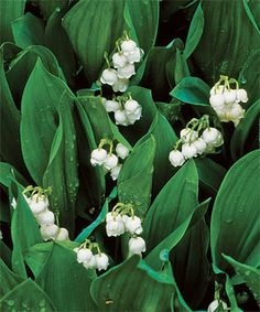 Lily of the valley (Convallaria majalis and cvs.)