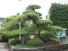 Japanese Black Pine -Pinus Thunbergii- Rare Pine Tree BONSAI 10-25 Seeds 2