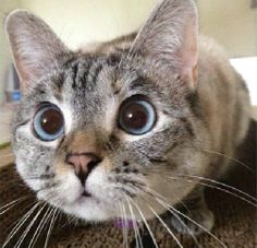 ragdoll cat rescue