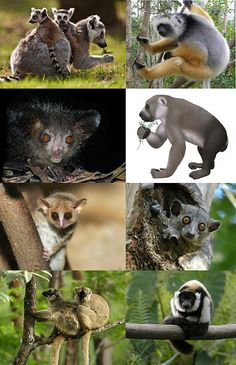 The International Union for Conservation of Nature (IUCN) considers lemurs to be the world's most endangered mammals, noting that—as of 2013—up to 90% of all lemur species face extinction within the next 20 to 25 years.