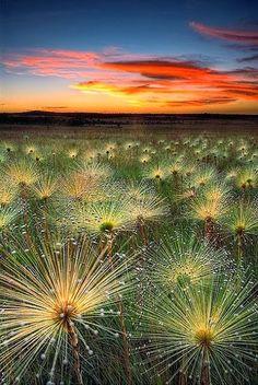 Amazing bromeliads - Paepalanthus