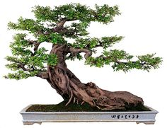 An Old Philistine Takes a Second Look at Some Remarkable Trees | Bonsai Bark