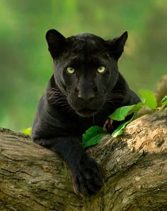 Melanistic leopards, also known as black panthers in Asia and Africa, are not it's own species. Their dark colouration is due to a surplus… Black Panther Cat, Panther Leopard, Black Panther Habitat, Wild Panther, Cheetah, Beautiful Cats, Animals Beautiful, Cute Animals, Wild Animals