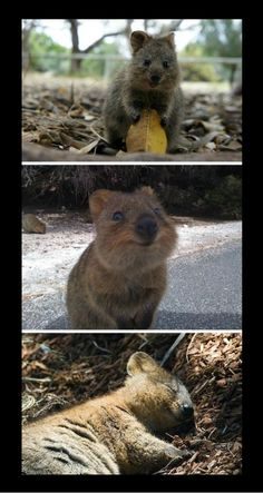 Instead of deadly Australian animals, I give you the Australian Quokka, the world's happiest animal