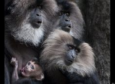 one-month-old baby lion-tailed macaque clings to its mother at Berlin's Zoologischer Garten Zoo