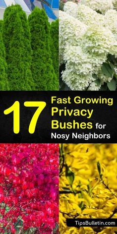 Discover 17 privacy bushes and shrubs that are perfect for screening your backyard front yards patio and driveways. Find out which plants are suitable along fence lines and which are fast growing to experience peace and serenity of a secluded residence. Fast Growing Privacy Shrubs, Shrubs For Privacy, Bushes And Shrubs, Privacy Landscaping, Garden Shrubs, Front Yard Landscaping, Tall Shrubs, Evergreen Shrubs, Flowering Shrubs