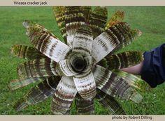Vriesea 'Cracker Jack'