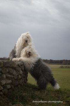 old English sheepdogs Sophie and Sarah Baby Dogs, Pet Dogs, Dogs And Puppies, Dog Cat, Puppies Tips, Cute Puppies, Doggies, Bearded Collie, Old English Sheepdog
