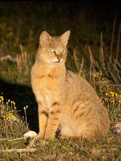 JUNGLE CAT or Swamp Cat (Moeraskat) Chausie Cat, Black Footed Cat, Wild Cat Species, Sand Cat, Spotted Cat, Jungle Cat, Exotic Cats, Kinds Of Cats, Norwegian Forest Cat