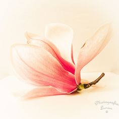 "Magnolia Blossom - 8"" x 8"" Print - Nature Flower Photography - Fine Art Photography. via Etsy."