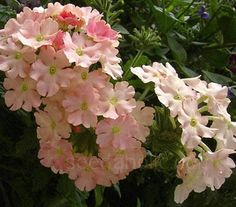 Verbena 'Peaches and Cream' open to reveal clusters of coral-salmon flowers.