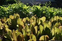 The golden yellow leaves of the shrub elaeagnus x ebbingei gilt 060614 yellow flowered alfalfa wild relative of domestic blue flowered alfalfa singh plants legumes alfalfa sprouts other nitrogen fixing plants to mightylinksfo