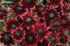 Évelő kúpvirág Cherry Brandy 50db idei friss mag Több színben is