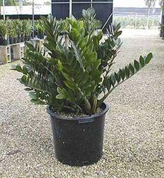 How To Care For The ZZ Plant � Zamioculcas Zamiifolia