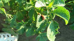 Larva Manlelinky bramborové Leptiotarsa decemlineata Zahrada