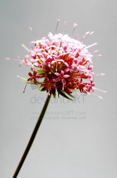 Red and Grey Flower by =tpphotography on deviantART