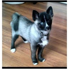 Pomeranian and Husky! I think i just died tej times just from that cuteness: Animals, Dogs, Puppys, Blue Eye, Pomsky Pomsky Puppies, Puppies And Kitties, Cute Puppies, Pet Dogs, Doggies, Puppys, Pomeranian Husky, Pomeranians, Pomeranian Haircut