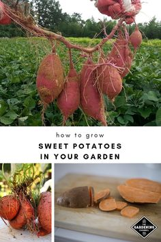 Outstanding Home vegetable garden tips are readily available on our website. look at this and you wont be sorry you did. Growing Sweet Potatoes, Growing Carrots, Growing Tomatoes, Growing Vegetables, Vegetable Garden Tips, Veg Garden, Tomato Garden, Organic Gardening, Gardening Tips