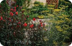 Companion Plants: Dahlia and Fennel