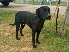 Labrador Retriever dog for Adoption in Rosenberg, TX. ADN-407843 on PuppyFinder.com Gender: Male. Age: Adult