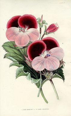 The Florist's Journal 1840 Lyne's Marmion, Lyne's HesperusFLJ77 $55