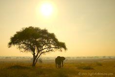 african sun elephant | Elephant (Loxodonta africana) hiding for sun and flapping ears under ...