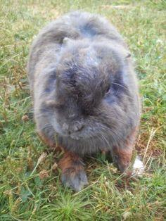 Conejo de Angora.