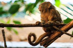 Scimmia nana | Visioni Fotografiche #photography #fotografia #scimmia #monkey