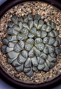 I hate to talk smack about anything God created but is it just me or are these gross?? Aizoaceae - Lithops