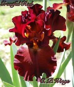 """Grateful Red Introduced by Schreiner 2011 Its ruddy tones have refreshing personality coming from the maroon-brown side of the color spectrum. The exotic ruffled form of its compact flowers is perfectly shown in our illustration. This effervescent Iris' stem bears 3 to 4 branches with as many as 8 buds each. Grows to 36"""" and blooms early to mid season."""