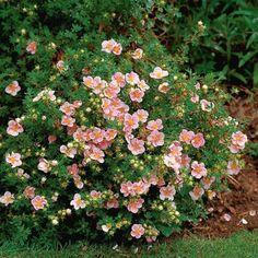 "Potentilla""Pink Beauty"" or 10 Pink Hardy Flowering Shrubs Live Plants! Garden Shrubs, Flowering Shrubs, Landscaping Plants, Trees And Shrubs, Shade Garden, Garden Plants, Fruit Garden, House Plants, All Plants"