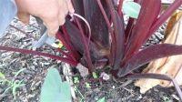 briansbotanicals - Colocasia Dragon Heart Gigante's ppaf