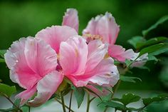 a peony for your thoughts by bytegirl24 on Flickr.